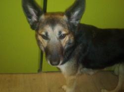 Kaynah, chien Berger allemand