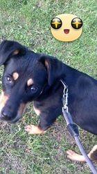 Kayser, chien Rottweiler
