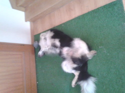 Kayser, chien Border Collie