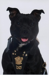 Kayser, chien Staffordshire Bull Terrier