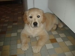 Kayser, chien Golden Retriever