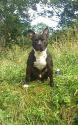 Kayseur, chien American Staffordshire Terrier