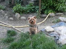 Kaysie, chien Yorkshire Terrier