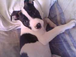 Kayzonn, chien American Staffordshire Terrier