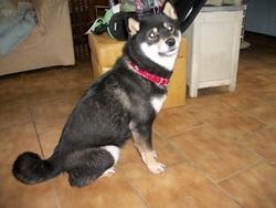 Kazuk, chien Shiba Inu