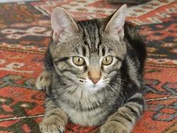 Kéa, chat