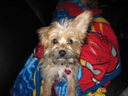Keana, chien Yorkshire Terrier