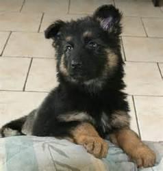 Kechup, chien Berger allemand