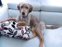 Keemo, chien Berger australien