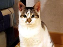 Keijo, chat Européen