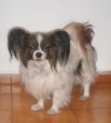 Keiko, chien Épagneul nain continental