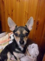 Keiko, chien Chihuahua
