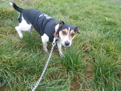Keitaro, chien Jack Russell Terrier