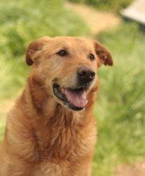 Keke, chien Labrador Retriever