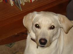 Kelbi, chien Labrador Retriever