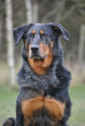 Kellogs, chien Beauceron