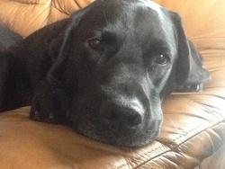 Kelly , chien Labrador Retriever
