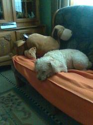 Kelly, chien Caniche