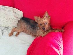 Kelly, chien Yorkshire Terrier