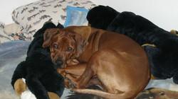 Kelly, chien Rhodesian Ridgeback
