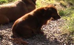 Kelly, chien Teckel