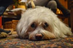 Kelly Dit Mop, chien Bichon à poil frisé