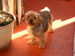 Kéna, chien Yorkshire Terrier