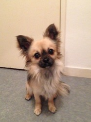 Kenai, chien Chihuahua