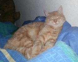 Kenai, chat Européen
