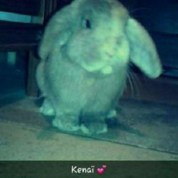 Kenai, rongeur Lapin