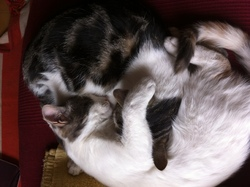 Kénata, chat