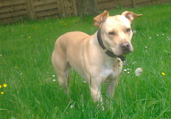 Kendra, chien American Staffordshire Terrier