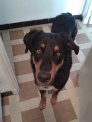 Kendy, chien Beauceron