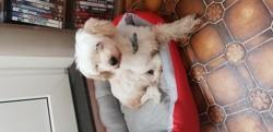 Kengi, chien Bichon maltais