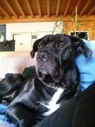 Kenjin, chien Cane Corso