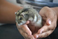 Kenot', rongeur Hamster