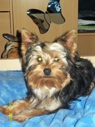 Kensho, chien Yorkshire Terrier