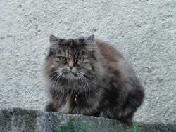Kenwya, chat Persan