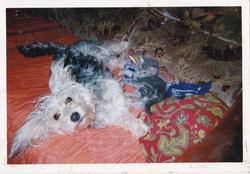 Kenya, chien Yorkshire Terrier