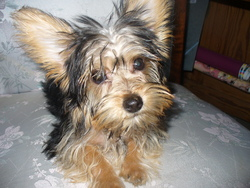 Kenza, chien Yorkshire Terrier