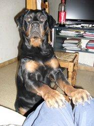 Kenza, chien Rottweiler