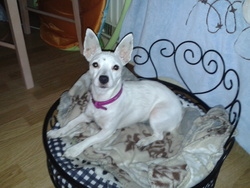 Kenza, chien Jack Russell Terrier