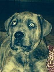 Kenza, chien Cane Corso