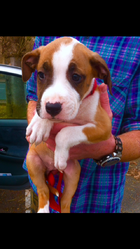 Kenza, chien Dogue argentin