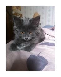 Kenza, chat Européen