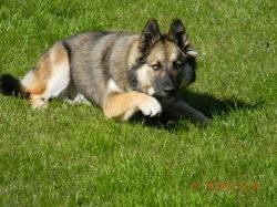Kenza, chien Chien-loup tchèque