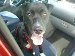 Kenza, chien Labrador Retriever
