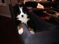 Kenzie-Lou, chien Bouvier bernois