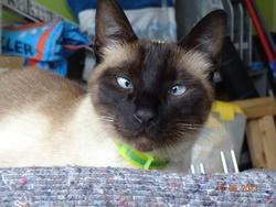 Kenzo, chat Siamois