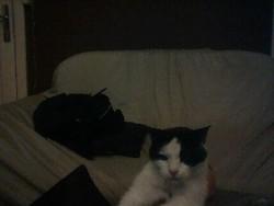 Kenzo, chat Norvégien